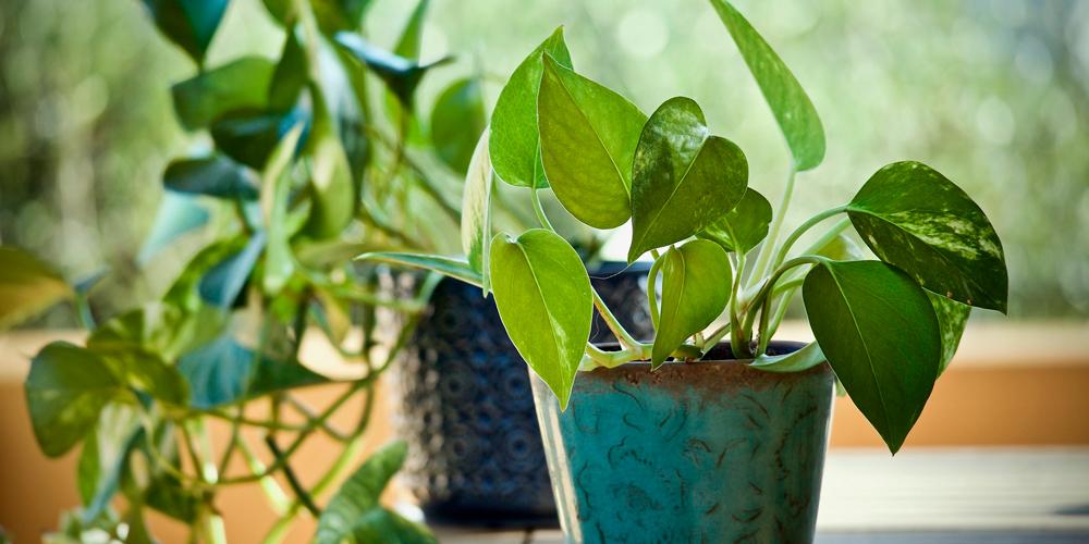 Planta que elimina químicos del aire