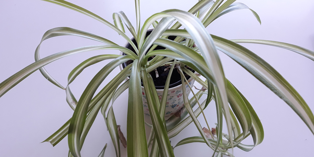 plantas de interior: cinta
