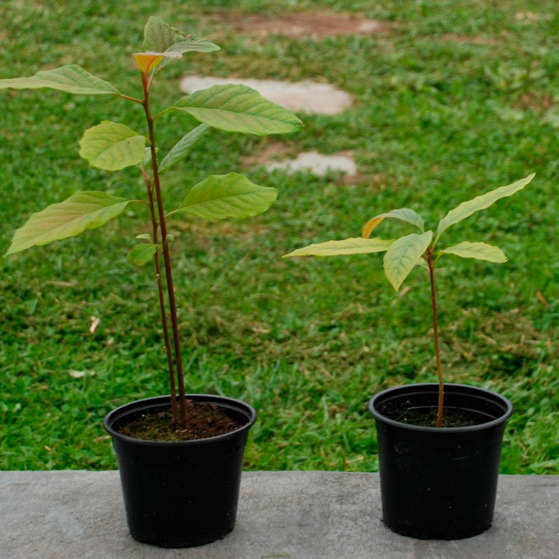 Cómo cultivar aguacate en casa en 5 sencillos pasos