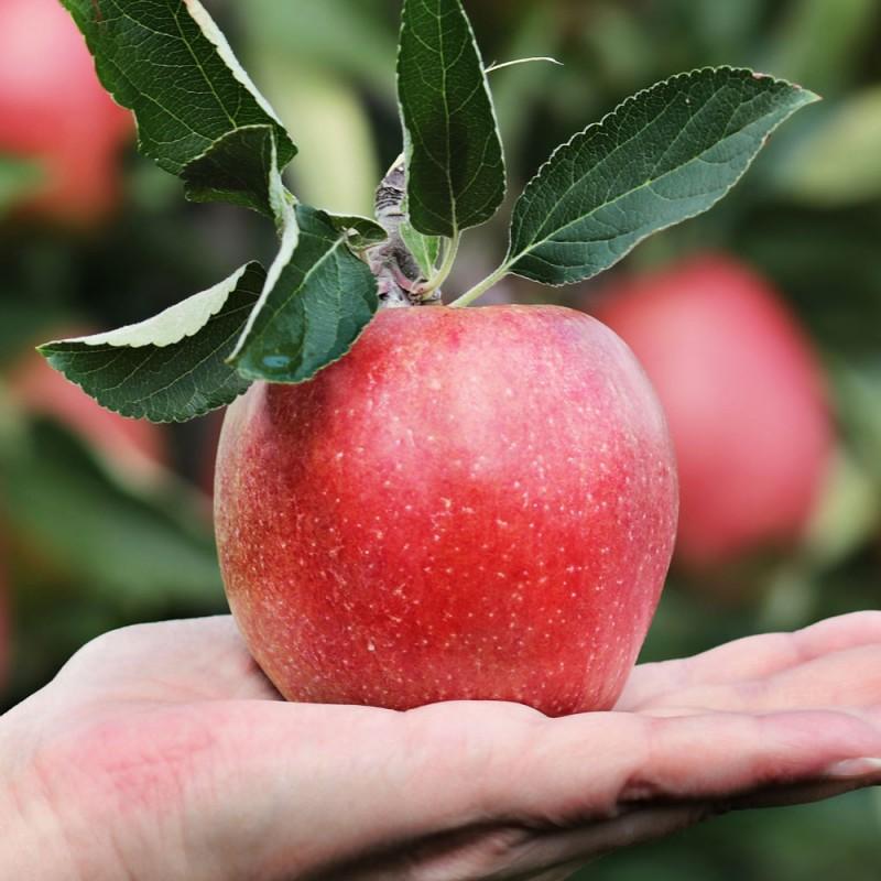 Cuántas calorías tiene una manzana. ¿Ayudan las manzanas a no engordar?