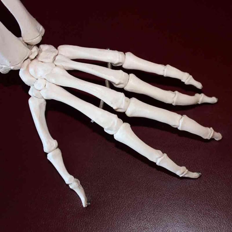 Cómo se llaman los huesos de las manos y de los pies. Anatomía fácil