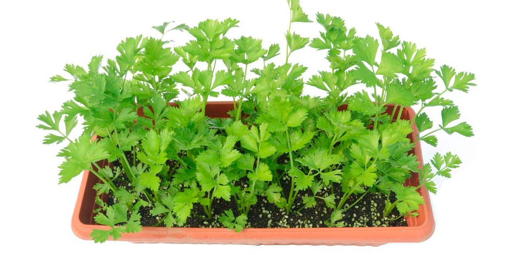 cultivar apio