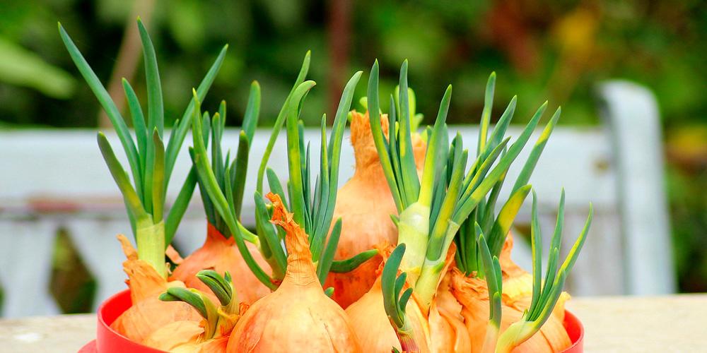 cultivar cebolla