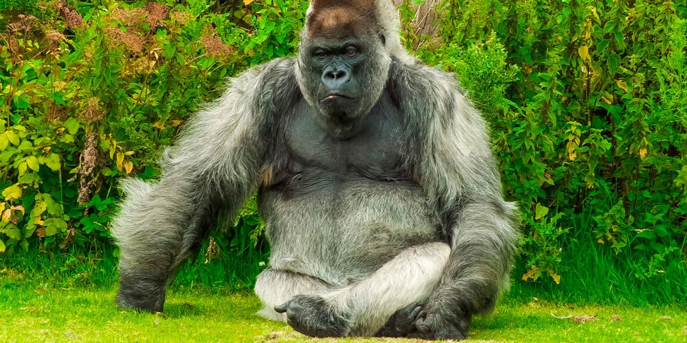 gorila en peligro de extinción