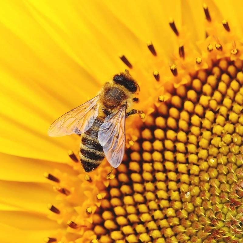 Por qué necesitamos a las abejas. Curiosidades sorprendentes sobre estos insectos
