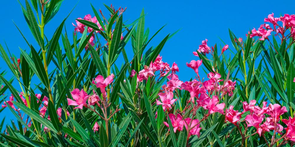 plantas venenosas: adelfas