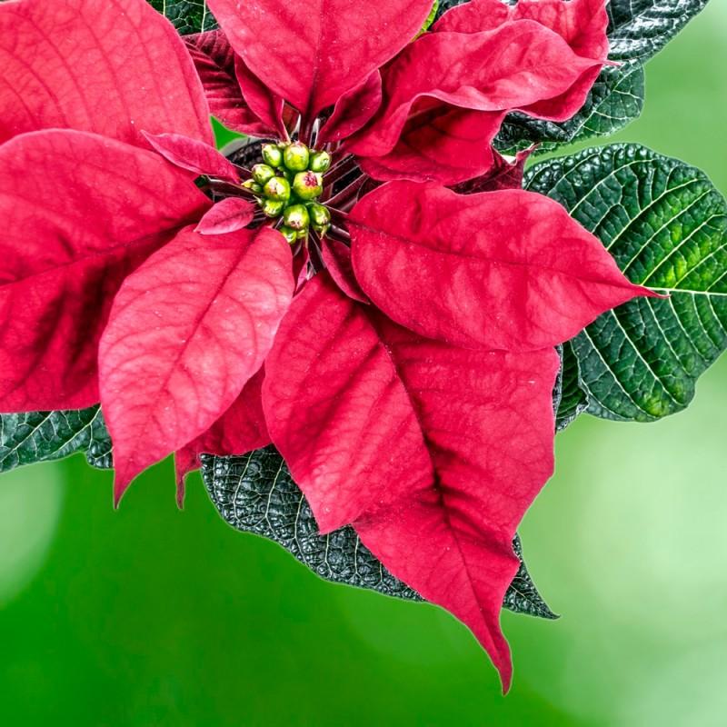 Por qué la poinsettia es la flor de Navidad: historia de la flor de Pascua