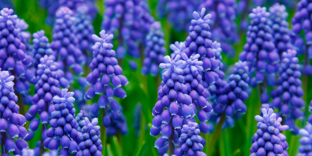 flor jacinto