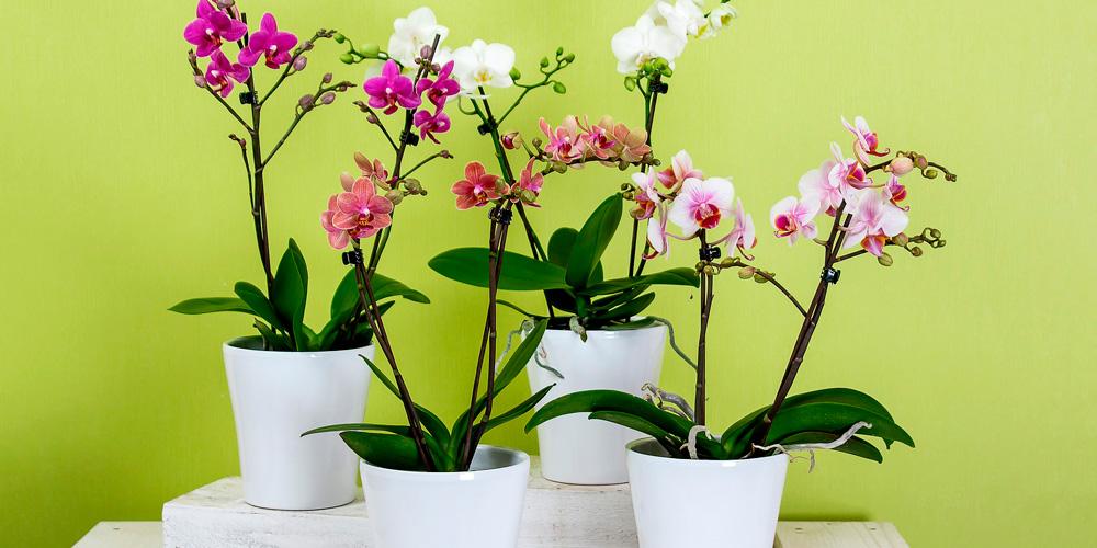 orquídea, planta con flor