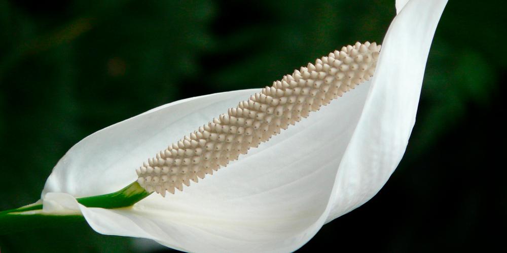 planta con flores, anturio