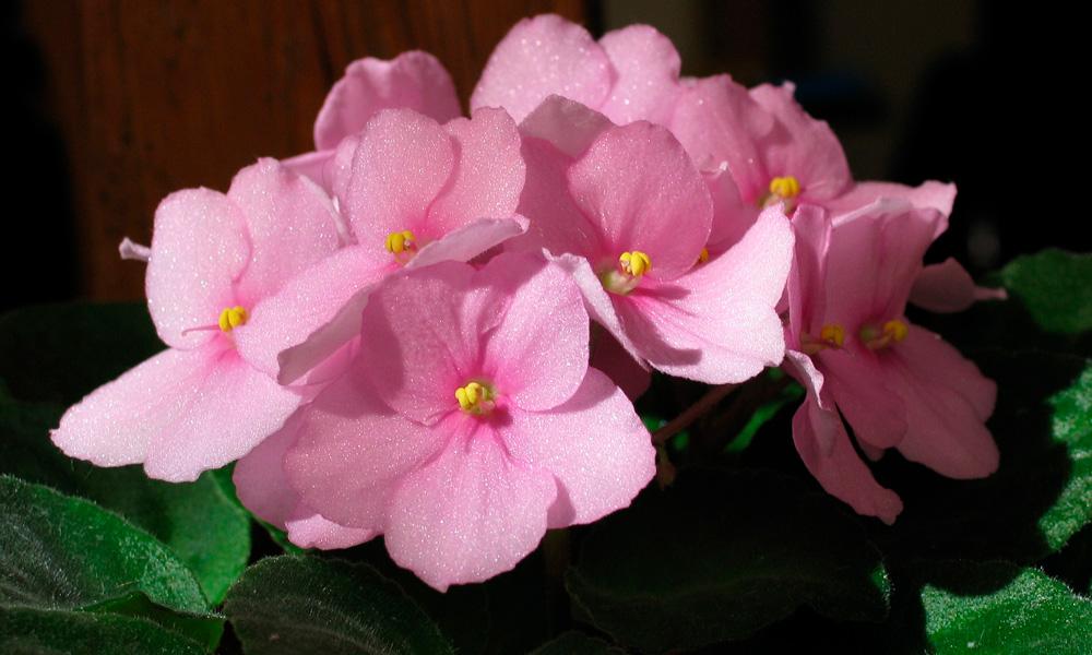 violeta africana, plantas de interior con flor
