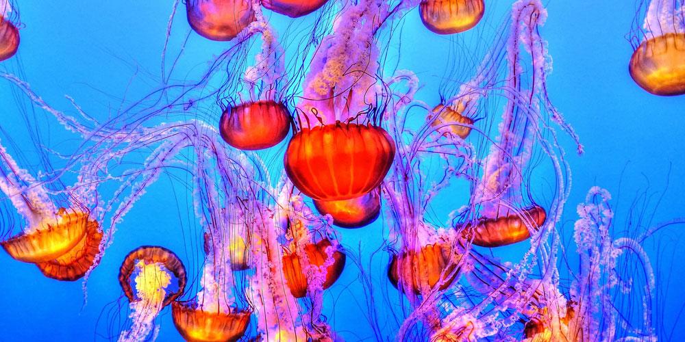 Curiosidades sobre las medusas