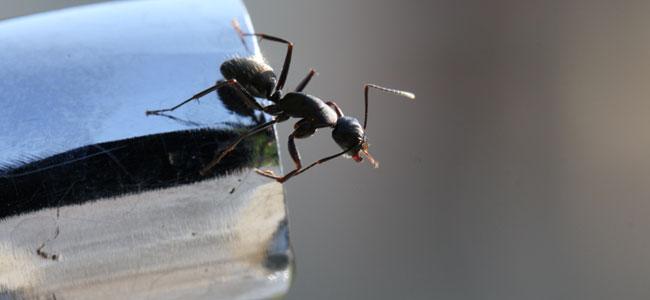 ahuyentar a las hormigas de tu hogar, remedios caseros