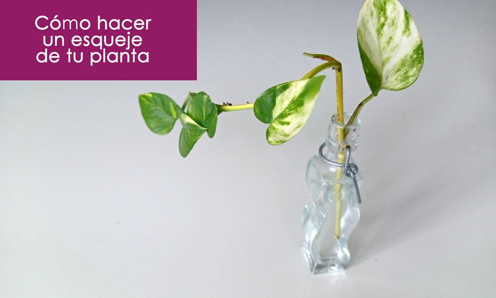 cómo trasplantar un esqueje de tu planta