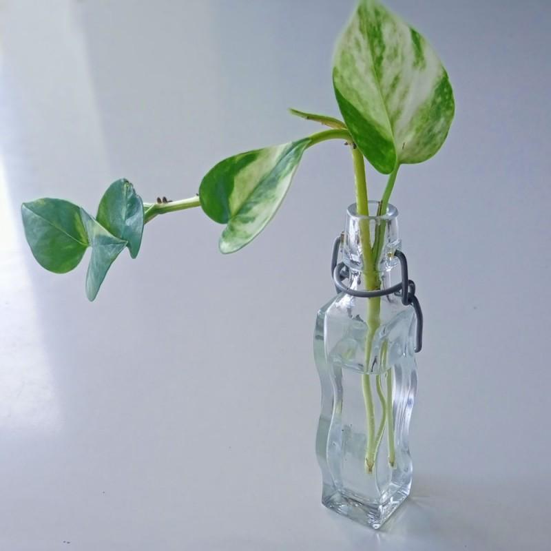Cómo hacer esquejes de tus plantas de interior (poto, cinta....)