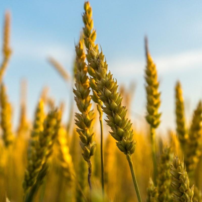 Cuáles son los cereales más saludables para una dieta sana