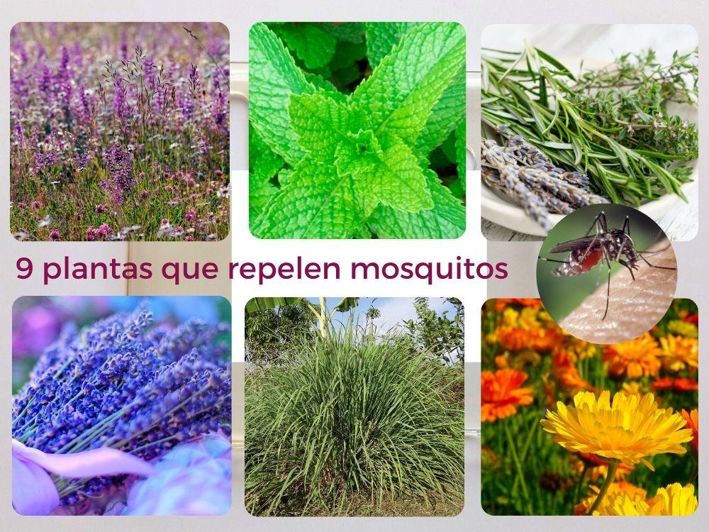 plantas que ahuyentan mosquitos