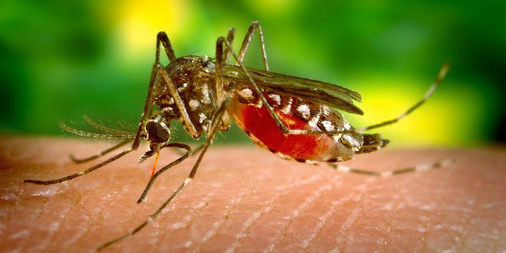etapas de un mosquito