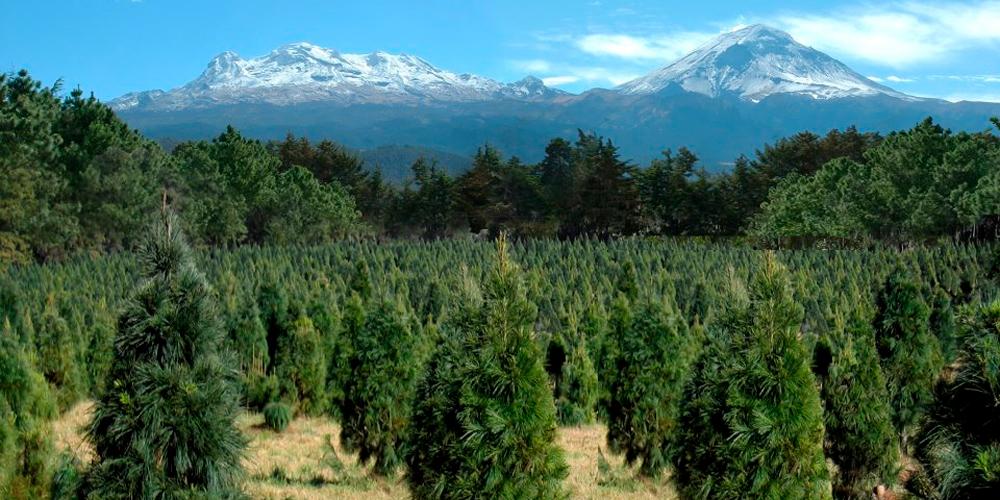 Bosque de los árboles de Navidad