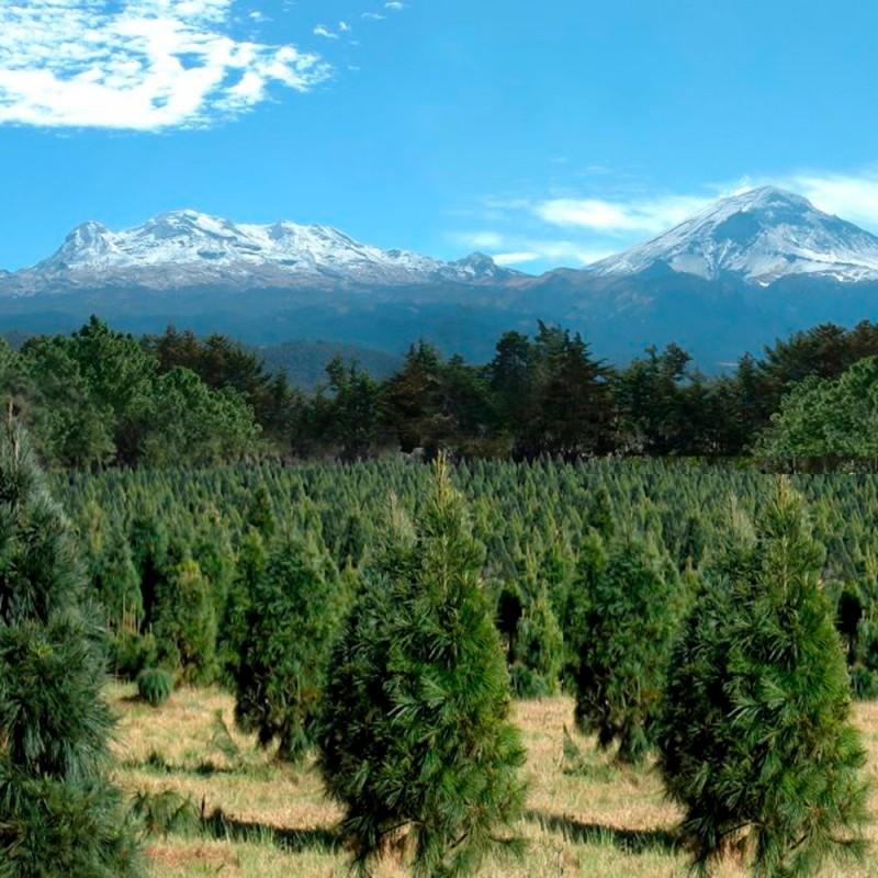 Qué es el bosque de los árboles de Navidad. La plantación de abetos navideños más grande del mundo